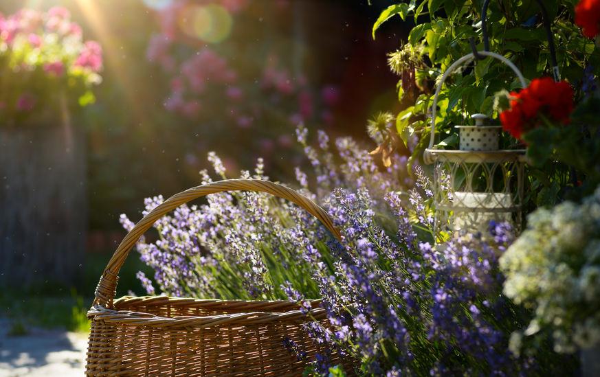 Achter de schermen juni 2020; Lavendel in een tuin